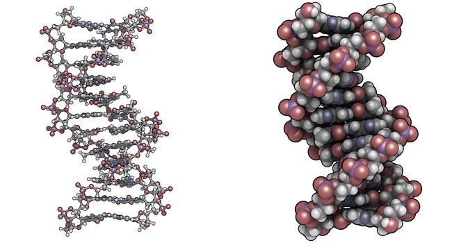 Dickerson DNA